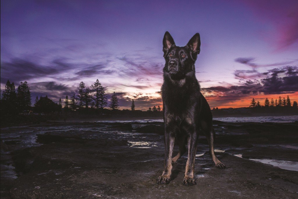Police Dog Heeko will turn four in July 2016. He is a German Shepherd bred by the QPS as part of the puppy development program. His father PD Onyx has had a distinguished career with the Special Emergency Response Team and his brother PD Hondo is a police dog on the Gold Coast.