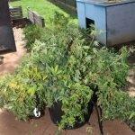 producing-dangerous-drug-charge-belmont